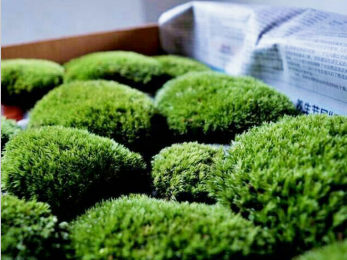 Royal Pool Moss in a box